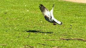 Pigeon taking off from grass stock video footage