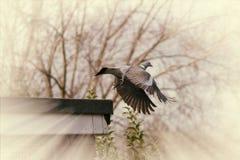 Pigeon taking off Stock Photos