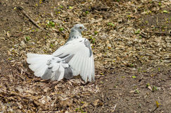 Pigeon taking sun bath Stock Image