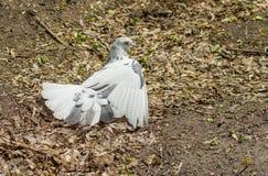 Pigeon taking sun bath Stock Image