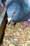 Pigeon taking wheat grain in the beak Stock Photography
