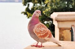 Pigeon. On the terrace in Sicily Stock Photos