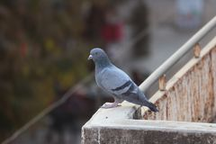 Pigeon on terrace. A pigeon sitting on a terrace with natural background royalty free stock photography