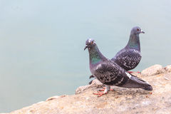 Pigeon in Thailand. stock photo