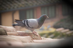 A pigeon on a tile roof. Vignette effect. Royalty Free Stock Images