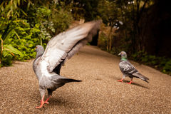 Pigeon about to fly Stock Photos