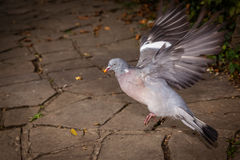 Pigeon about to fly Royalty Free Stock Images