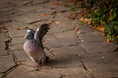 Pigeon about to fly Royalty Free Stock Image