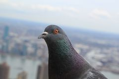 Pigeon Stock Photos