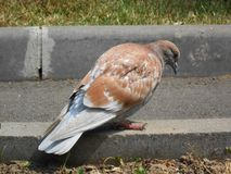 Pigeon in the town park. royalty free stock photography