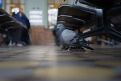 A pigeon at a train station in Saint Petersburg. Royalty Free Stock Photography