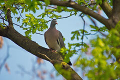 Pigeon. A Pigeon on a Tree Royalty Free Stock Photos