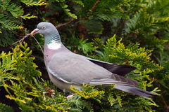 Pigeon. A Pigeon on a Tree Stock Photography