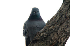 Pigeon on a Tree Stock Images