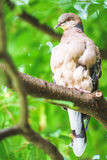 The pigeon in the tree Royalty Free Stock Image