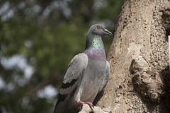 Pigeon in a tree Stock Image