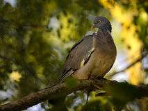Pigeon on tree branch Royalty Free Stock Image