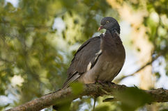 Pigeon on tree branch Stock Image
