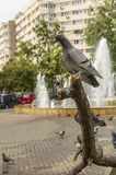 Pigeon on tree branch Stock Images