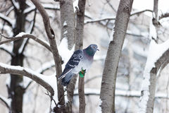 Pigeon on the tree. Pigeon seats on the branch of tree and looks ahead Royalty Free Stock Images