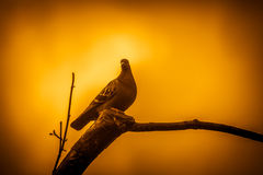 Pigeon on a tree Stock Photography