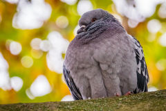 Pigeon on a tree Stock Photo