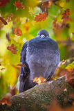 Pigeon on a tree Stock Image