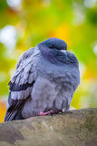 Pigeon on a tree Royalty Free Stock Photography