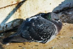 Pigeon trembling Royalty Free Stock Photos