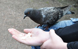 Pigeon trusting people Royalty Free Stock Photo