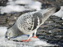 Pigeon trying to find food on snow stock photos