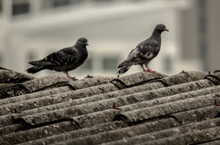Pigeon. These two doves Wait for the sun to shine down. After the dark sky The weather is like falling rain. It waits solemnly To make the body warm Royalty Free Stock Photos