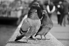Pigeon. Two pigeons standing on the wall Stock Photo