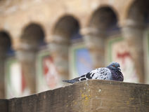 Pigeon at the Uffizi Gallery. A pigeon resting on a ledge outside the Uffizi Gallery in Florence with the Palazzo Vecchio in the background Royalty Free Stock Images