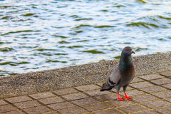 Pigeon under the Rama VIII bridge Stock Image