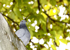 Pigeon under tree. Beautiful pigeon isolated of a tree background Stock Photography