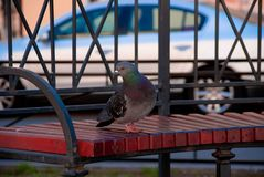 Pigeon in an urban environment on a bench stock illustration