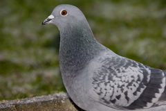 Pigeon in urban garden. Stock Images