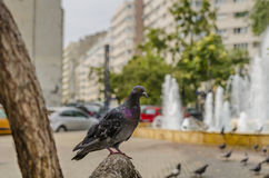 Pigeon in urban landscape Stock Image