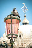 Pigeon in Venice Royalty Free Stock Photos