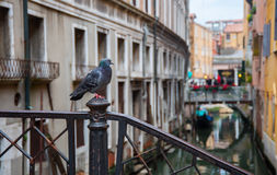 Pigeon in Venice Royalty Free Stock Images