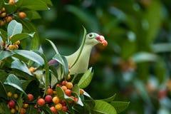 Pigeon vert Photos libres de droits