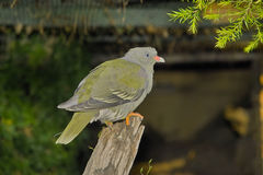 Pigeon vert africain (calva de Treron) image libre de droits