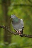Pigeon vertical Photo stock