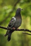 Pigeon vertical Image stock