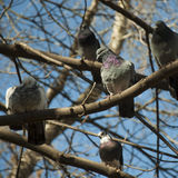 The pigeon with a violet collar Royalty Free Stock Photography