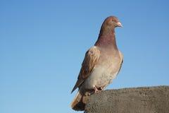 Pigeon voyageur Image libre de droits