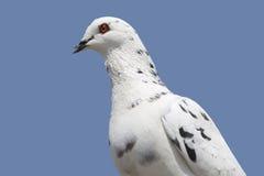 Pigeon voyageur images stock