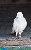 Pigeon voyageur Images libres de droits