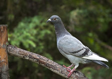 Pigeon voyageur photo stock